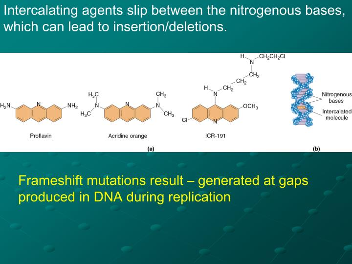 Intercalating agents slip between the nitrogenous bases, which can lead to insertion/deletions.