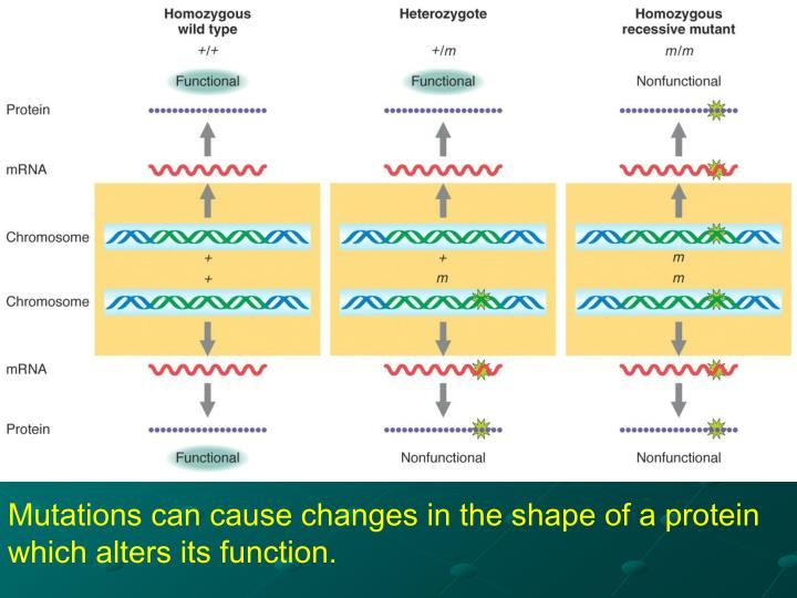 Mutations can cause changes in the shape of a protein which alters its function.