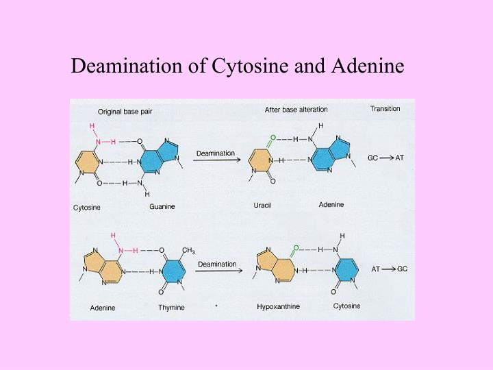 Deamination of Cytosine and Adenine
