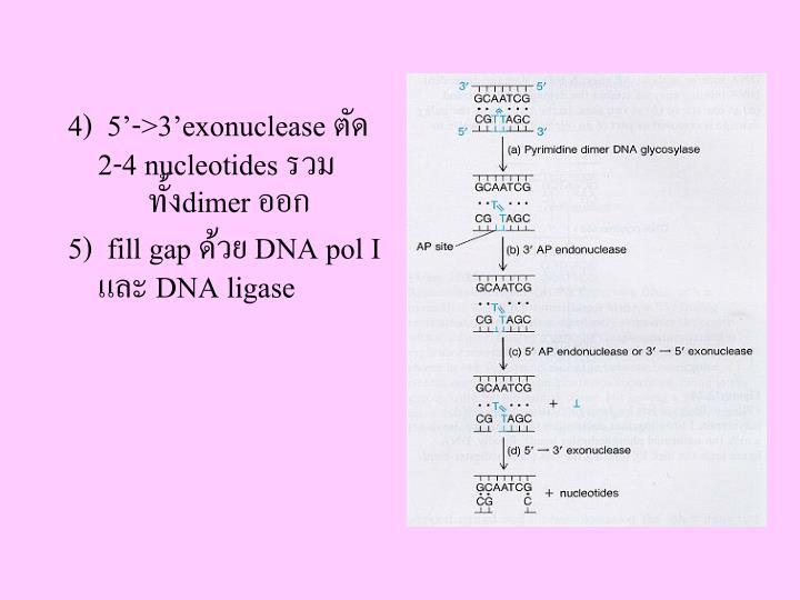 4)  5'->3'exonuclease