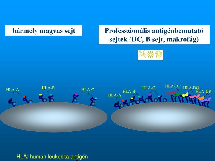 Professzionális antigénbemutató sejtek (DC, B sejt, makrofág)