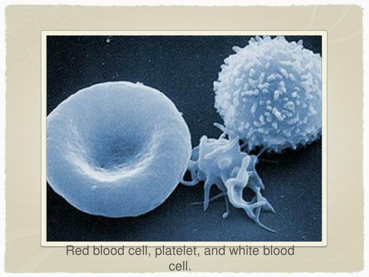 Red blood cell, platelet, and white blood cell.