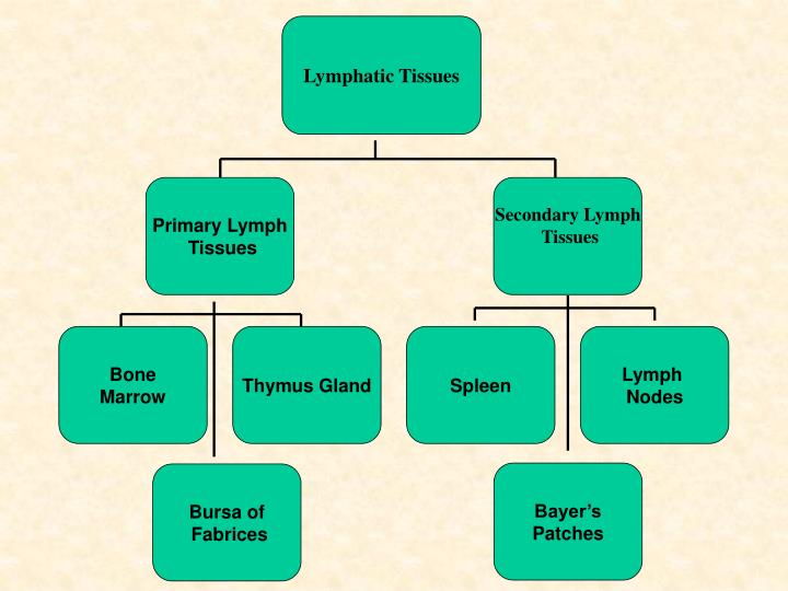 Lymphatic Tissues