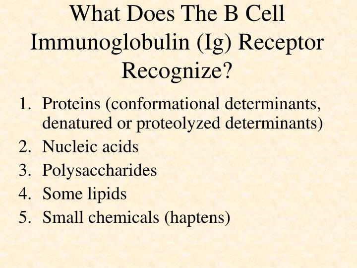 What does the b cell immunoglobulin ig receptor recognize