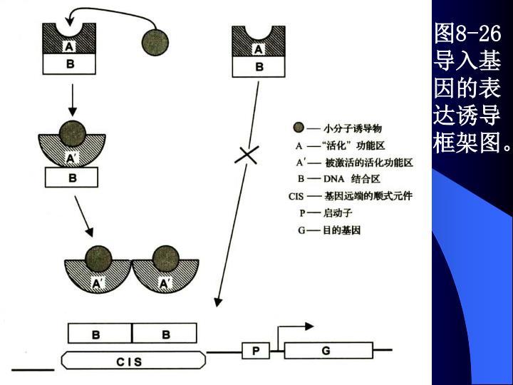 图8-26 导入基因的表达诱导框架图。