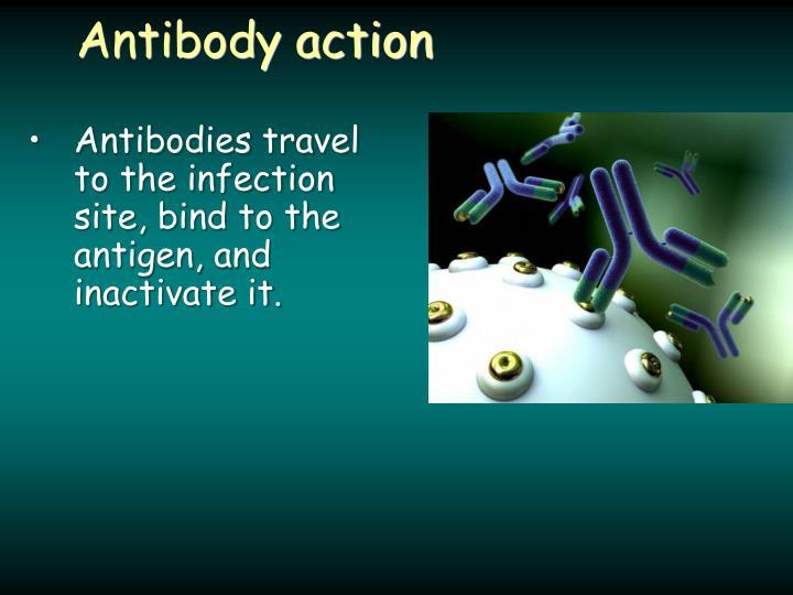 Antibody action