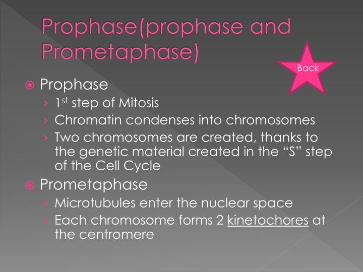 Prophase prophase and prometaphase