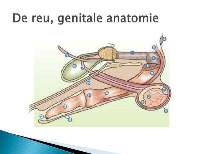 De reu, genitale anatomie