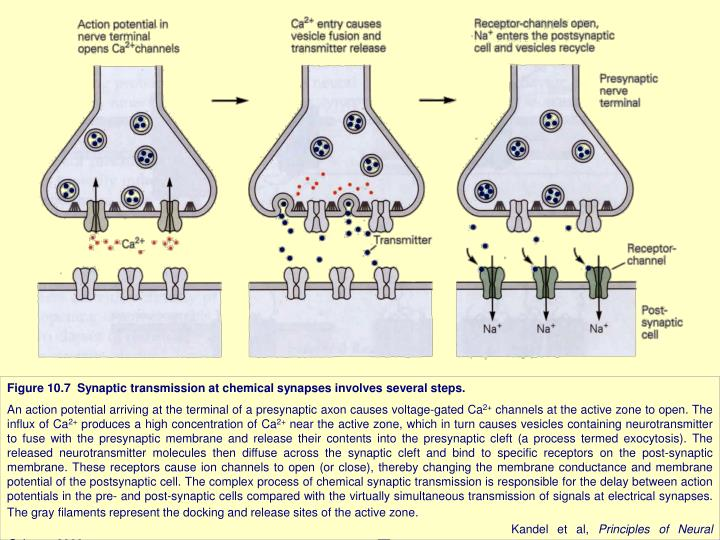 Figure 10.7  Synaptic transmission at chemical synapses involves several steps.