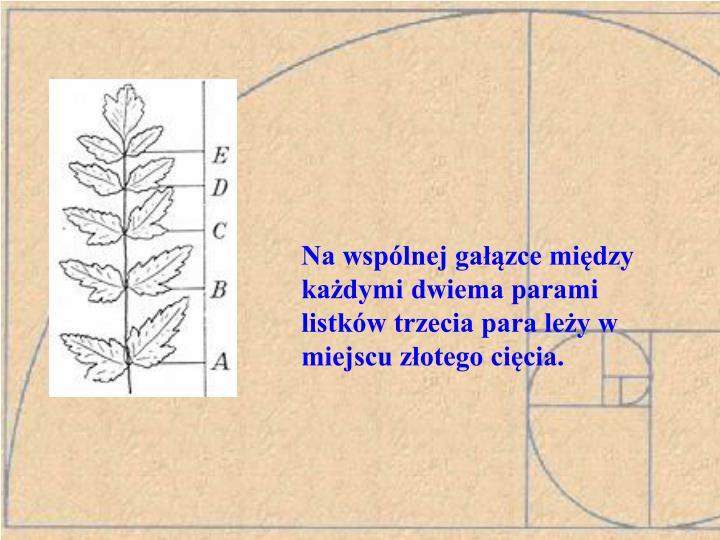 Na wspólnej gałązce między każdymi dwiema parami listków trzecia para leży w miejscu złotego cięcia.