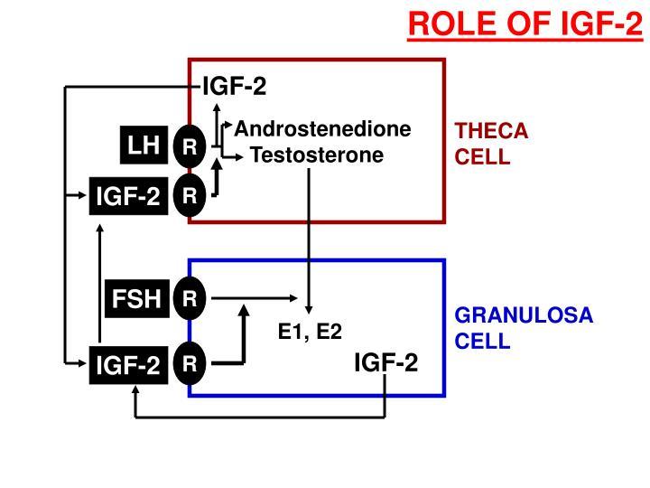 ROLE OF IGF-2