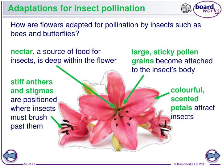 Adaptations for insect pollination