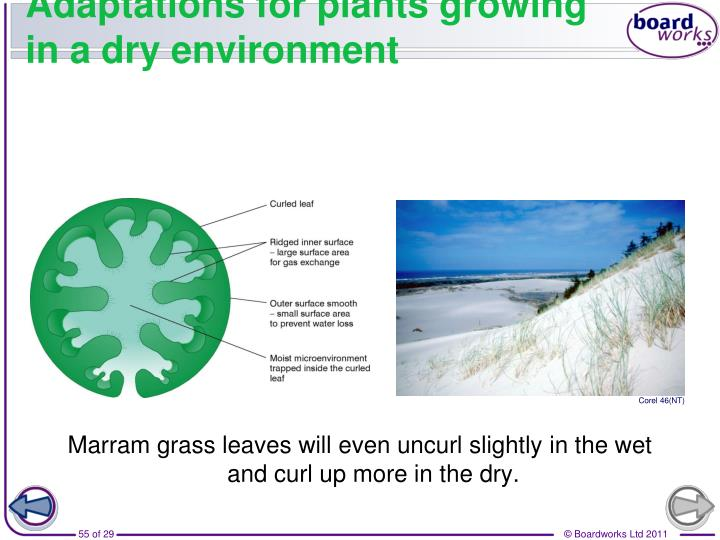 Marram grass leaves will even uncurl slightly in the wet and curl up more in the dry.