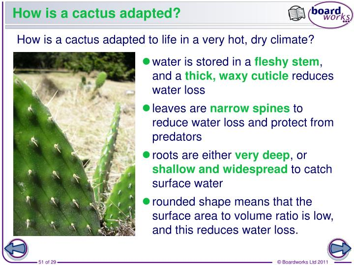 How is a cactus adapted?