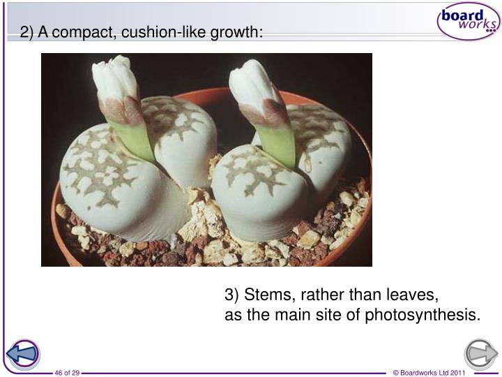 2) A compact, cushion-like growth: