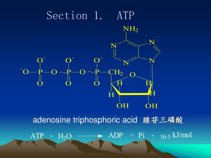 adenosine triphosphoric acid