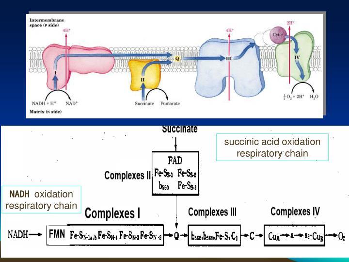 succinic acid oxidation respiratory chain