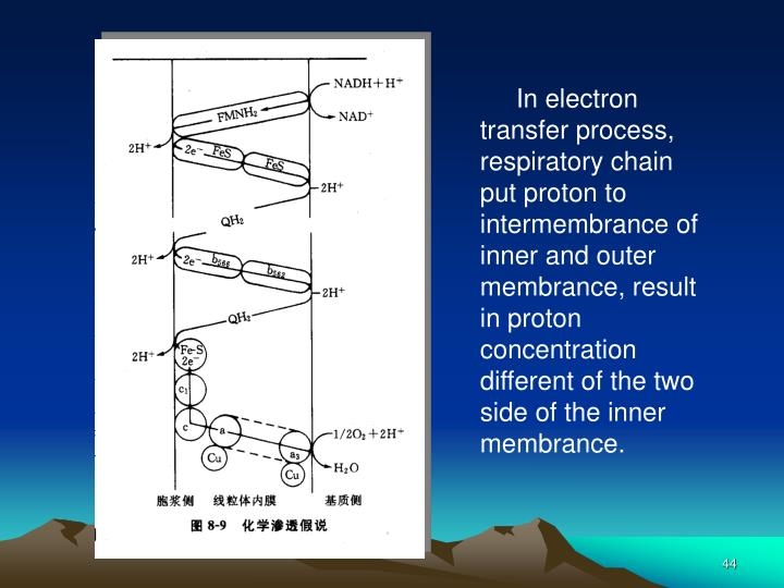 In electron transfer process, respiratory chain put proton to intermembrance of inner and outer membrance, result in proton concentration different of the two side of the inner membrance.