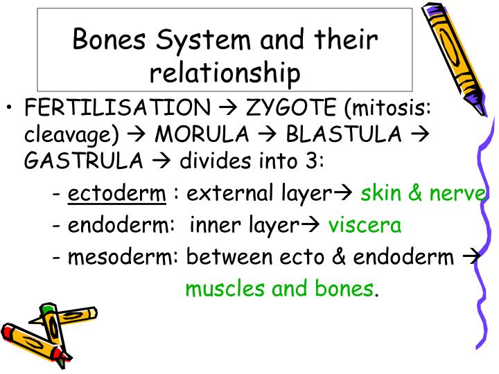 Bones system and their relationship