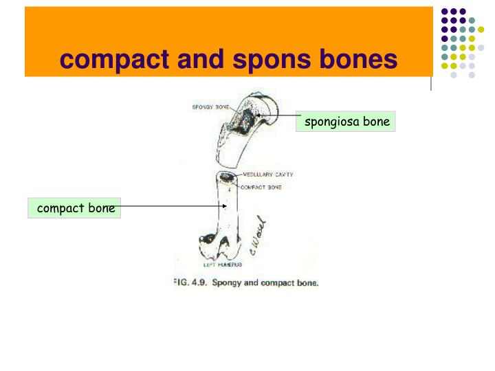 compact and spons bones