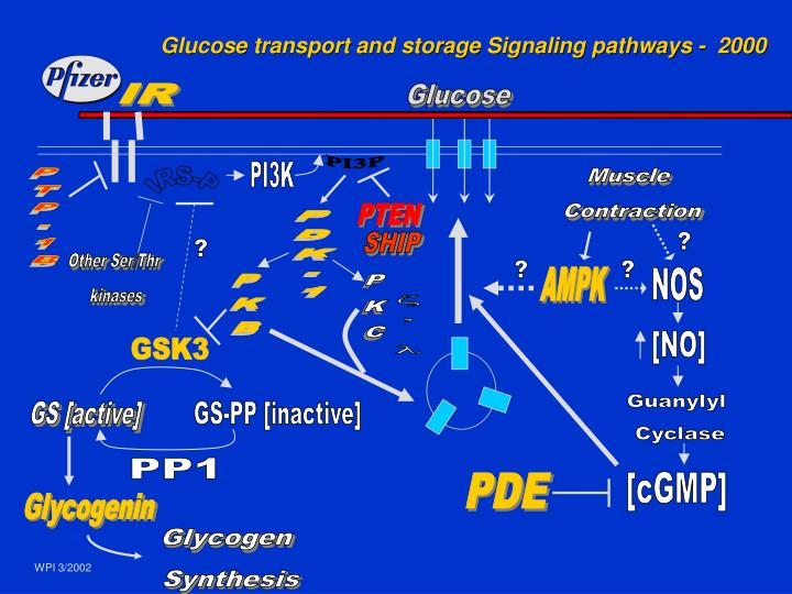Glucose transport and storage Signaling pathways -  2000