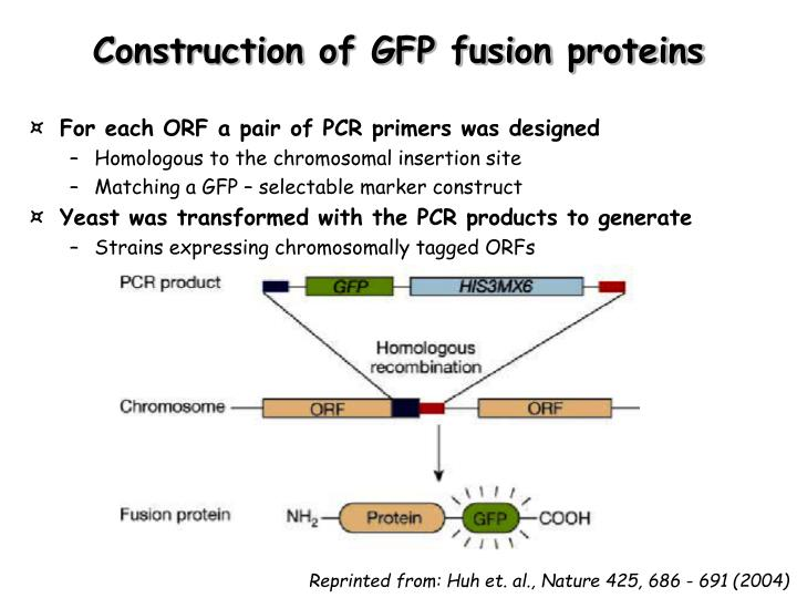 Construction of GFP fusion proteins