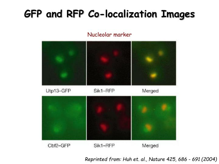 GFP and RFP Co-localization Images
