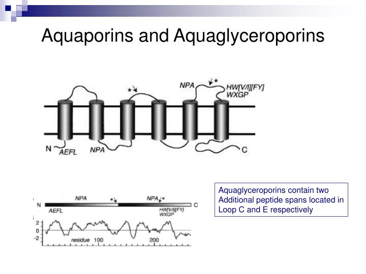 Aquaporins and Aquaglyceroporins