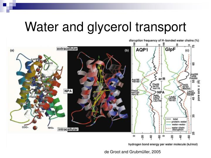 Water and glycerol transport