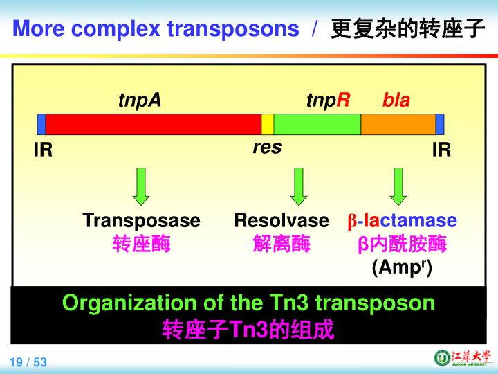 More complex transposons  /