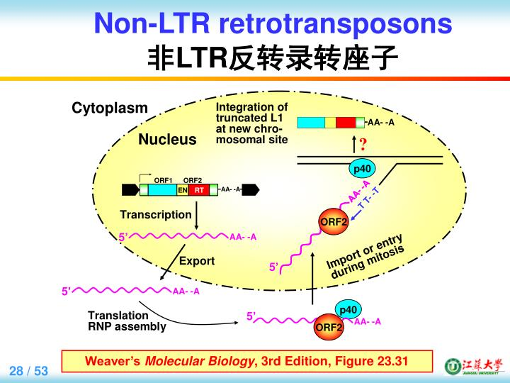 Non-LTR retrotransposons