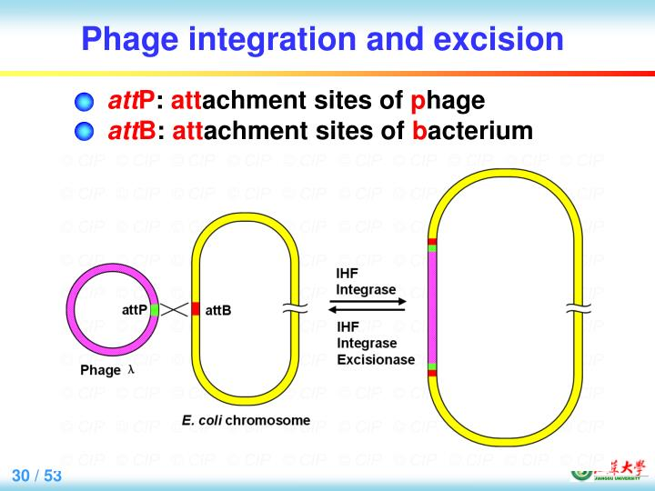 Phage integration and excision
