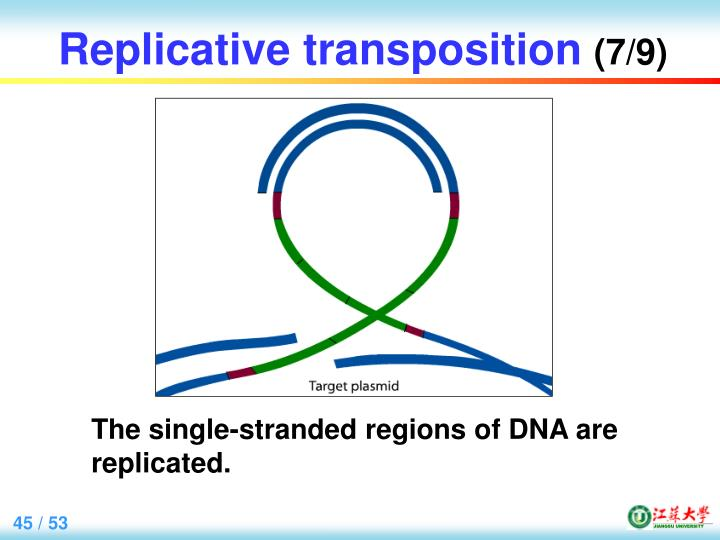 Replicative transposition