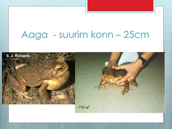 Aaga  - suurim konn – 25cm