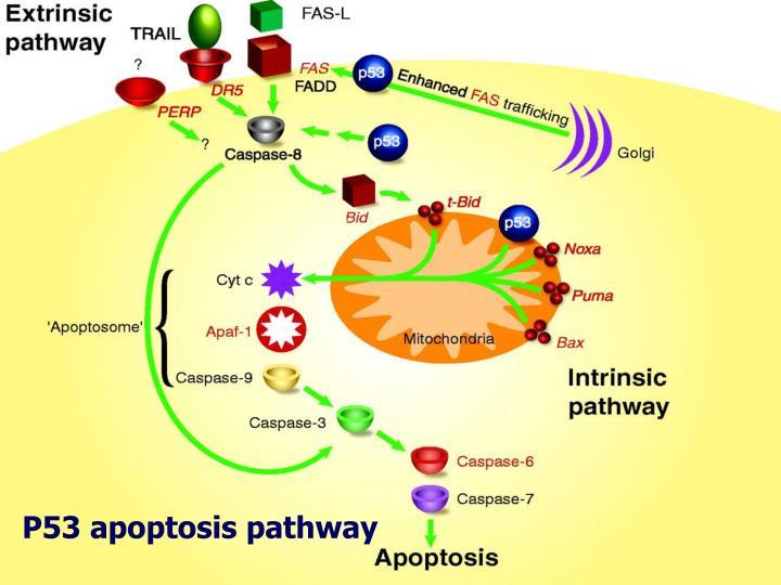 P53 apoptosis pathway