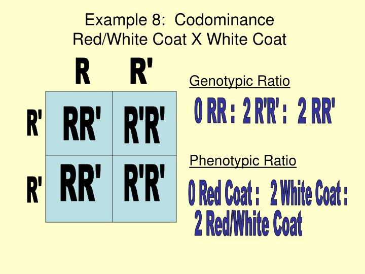 Example 8:  Codominance                         Red/White Coat X White Coat