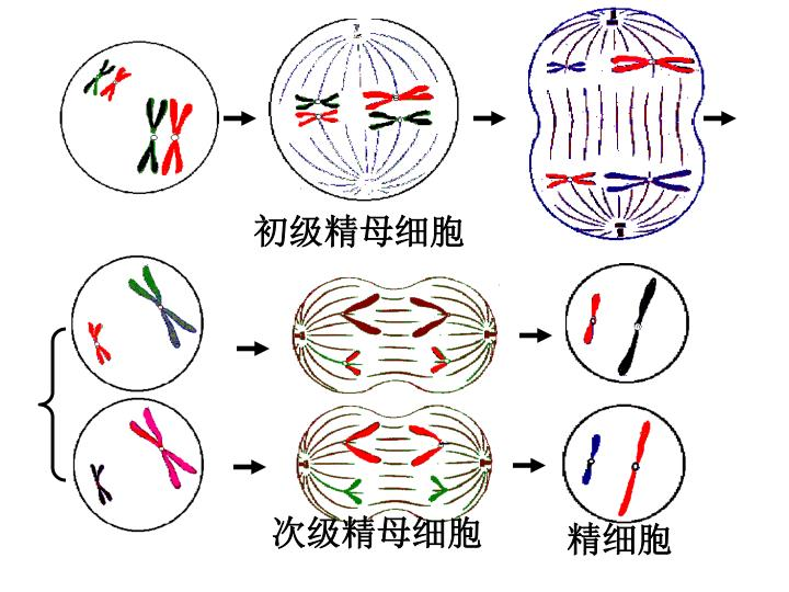初级精母细胞