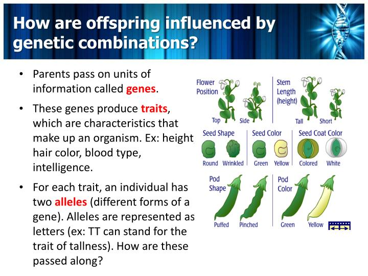 How are offspring influenced by genetic combinations?
