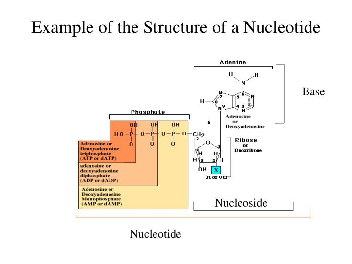 Example of the Structure of a Nucleotide