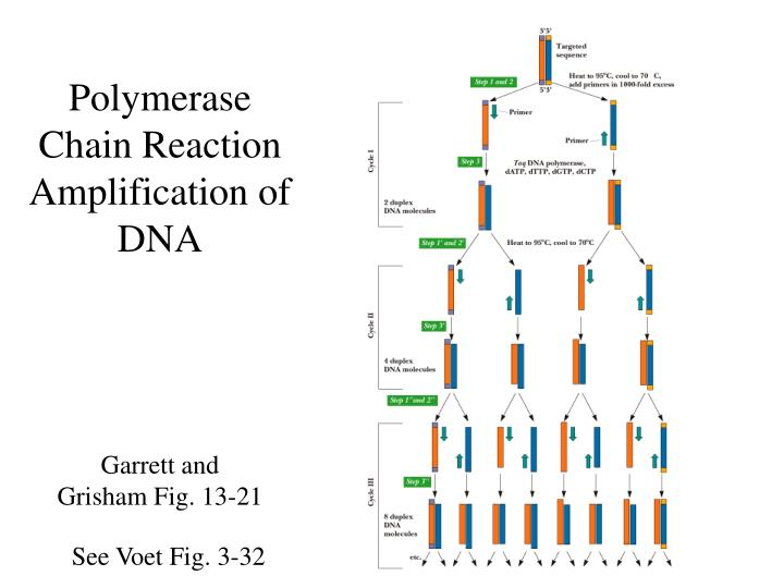 Polymerase Chain Reaction  Amplification of DNA