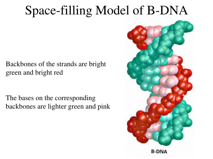 Space-filling Model of B-DNA