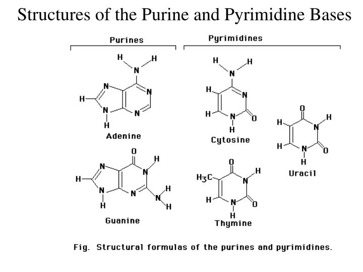 Structures of the purine and pyrimidine bases