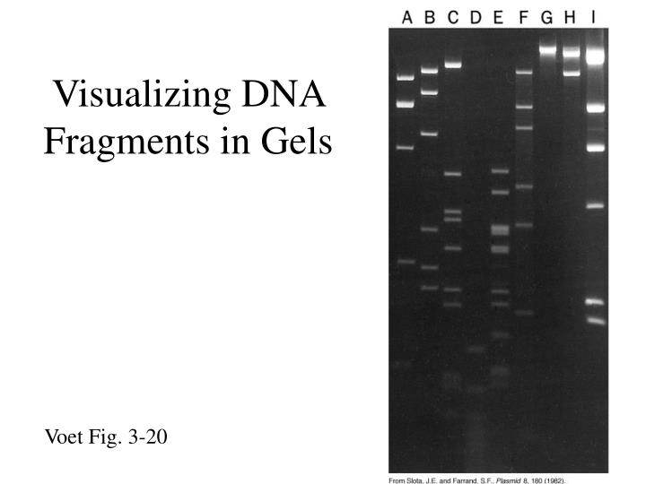 Visualizing DNA Fragments in Gels