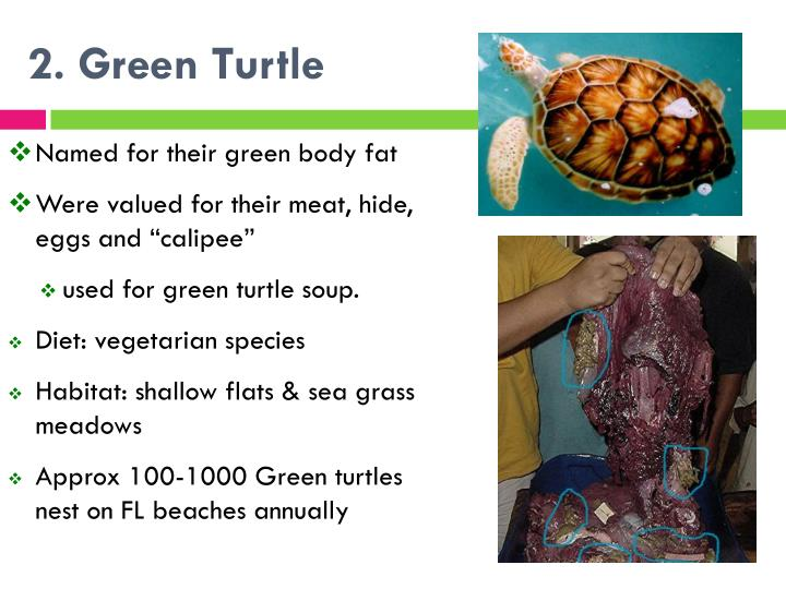 2. Green Turtle