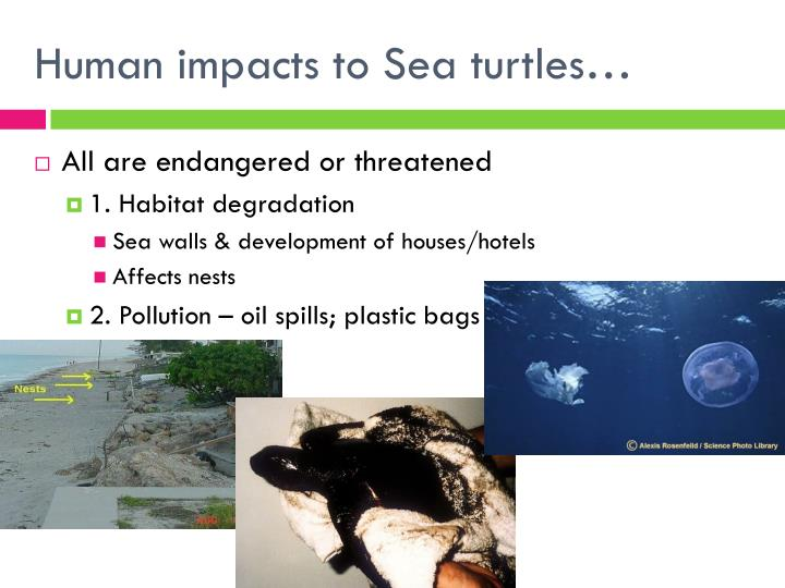 Human impacts to Sea turtles…
