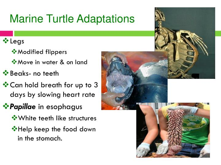 Marine Turtle Adaptations