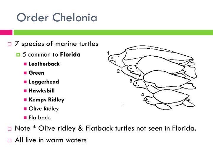 Order Chelonia