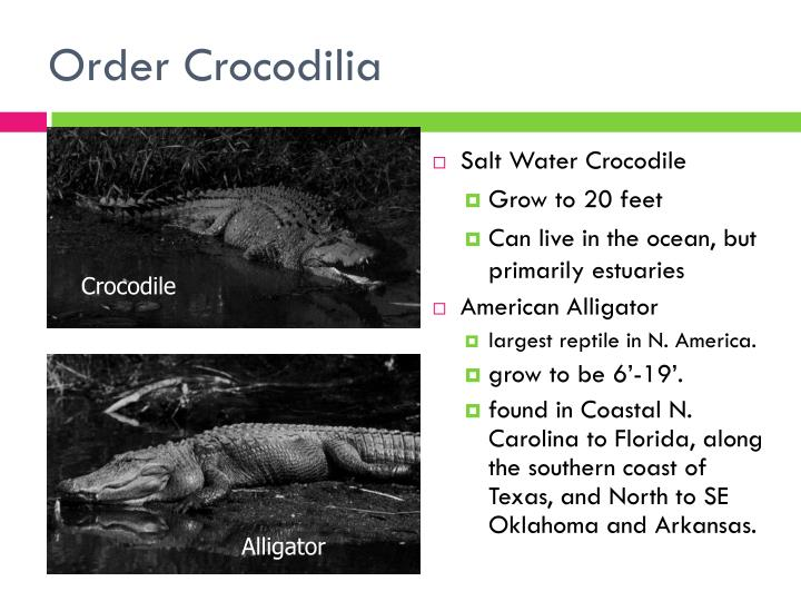 Order crocodilia