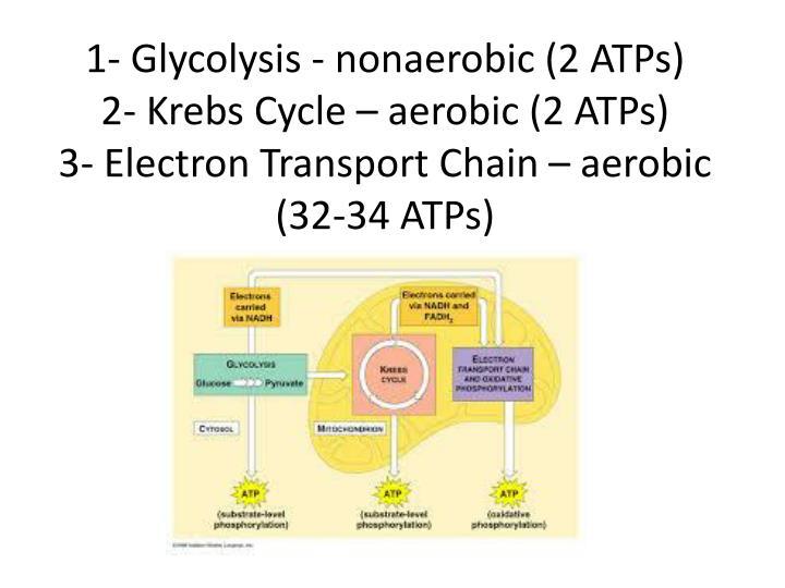 1- Glycolysis - nonaerobic (2 ATPs)