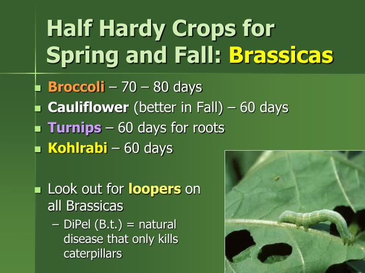 Half Hardy Crops for Spring and Fall: